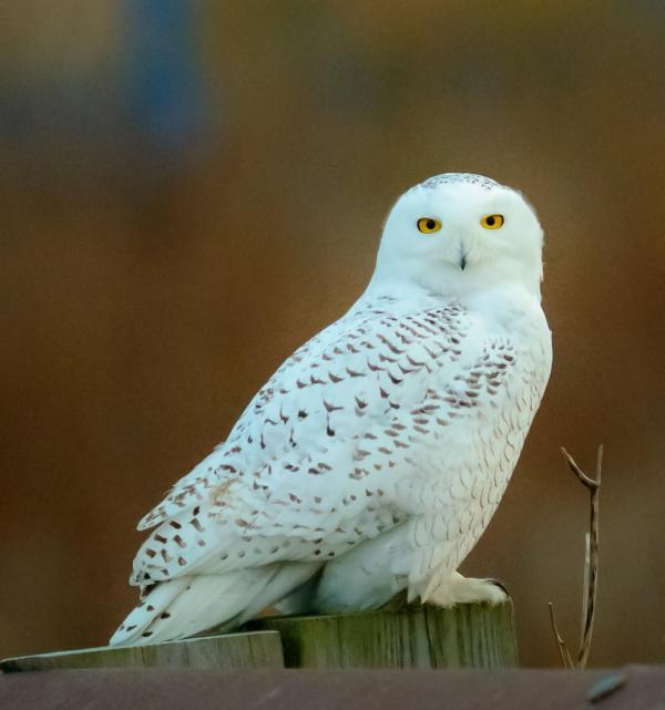Snowy Owl Sightings In Ri Rhode Island Public Radio