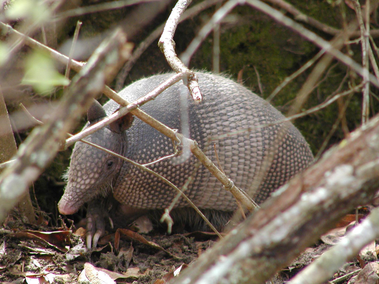 armadillos in your backyard