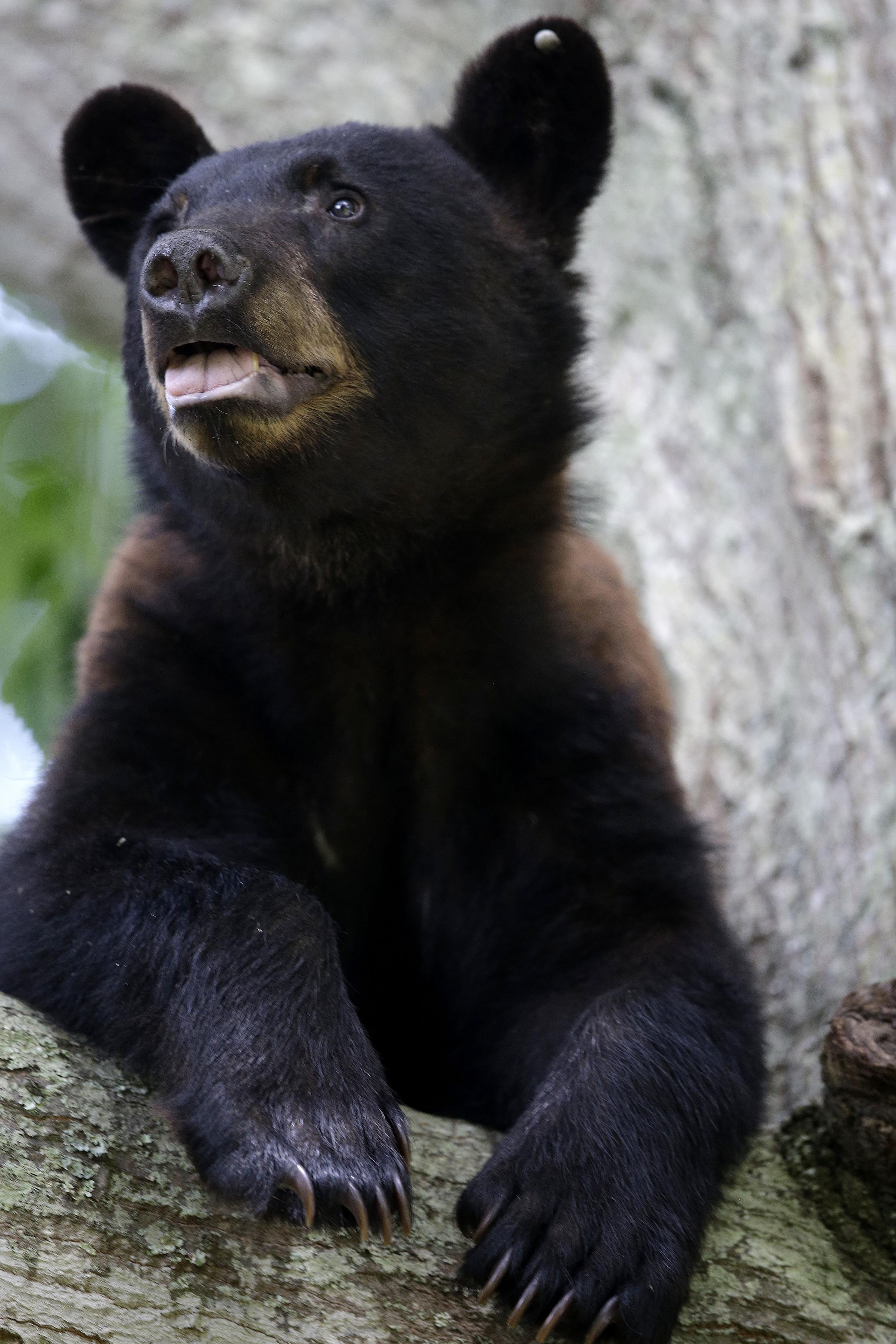 black bears becoming unusually