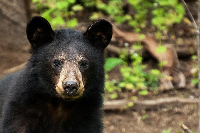 As the 2015 Black Bear Hunt Begins Some Bear Facts  WYPR