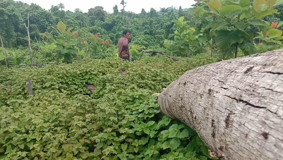 Kebun Nilam milik Fiklat Munajad di Desa Ronta, Kecamatan Bonegunu, Buton Utara. Foto: La Ode Adnan Irham
