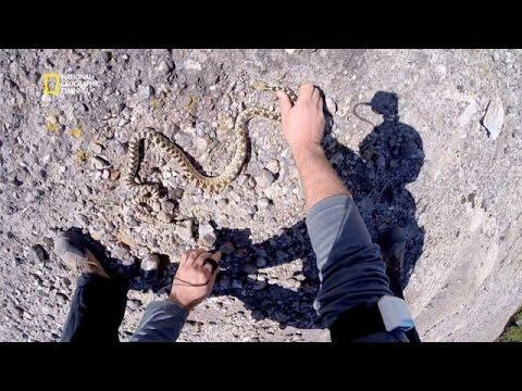Mangouste Contre Serpent Sur Orange Vidéos