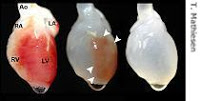 scientists create beating heart