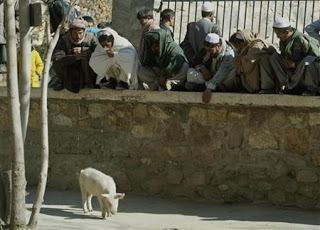 afghanistan's only pig quarantined in flu fear