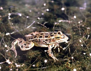 atrazine, common weedkiller, turns male frogs into females