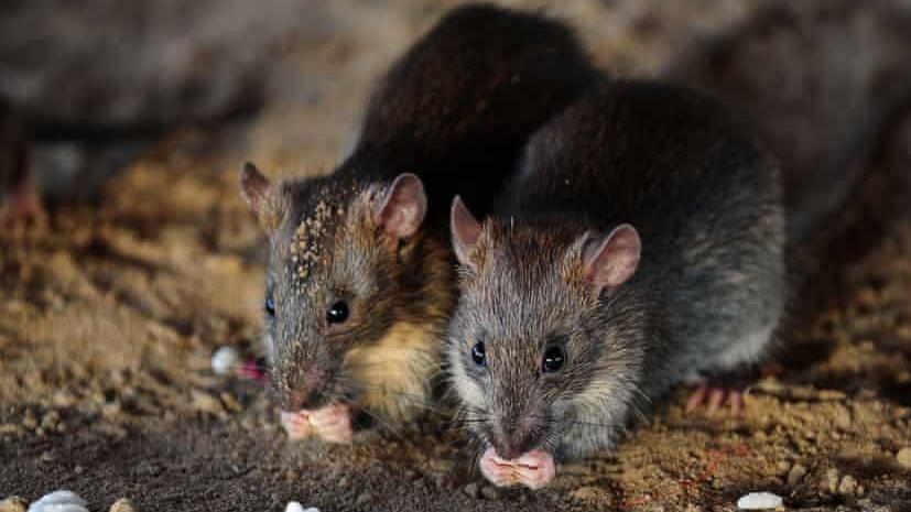 بالفيديو: هجوم مخيف لآلاف الفئران على ولاية استرالية