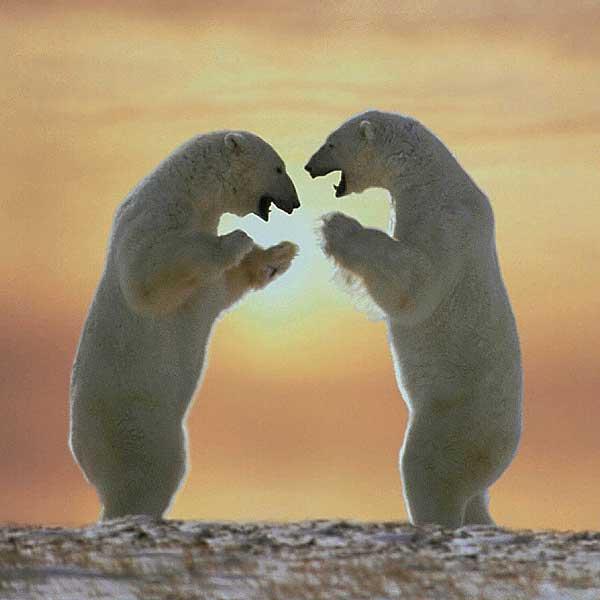 polar-bears-standing.jpg
