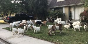 Several GOATs in Boise, Idaho Are Currently Having One Hell of a Friday Morning