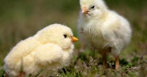 Coronavirus spurs sales of chicks, raising salmonella fears