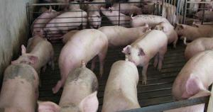 U.S. hog farmers say they need federal help to stay afloat