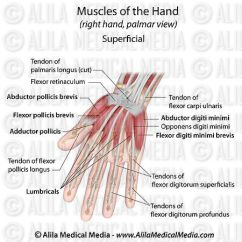 Palmar Hand Muscle Anatomy Diagram Bubble Blowing Alila Medical Media Muscles Aspect Superficial Labeled