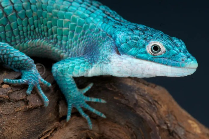 Resultado de imagen para arboreal alligator lizard from Mexico.