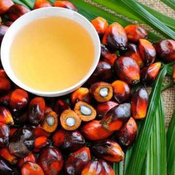Le Gabon: un exemple dans la culture du palmier à huile à l'international