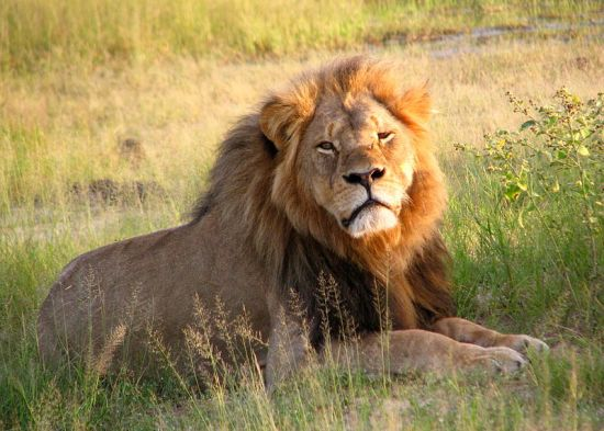 Cecil the Lion in 2010. Creative Commons photo by Daughter#3.