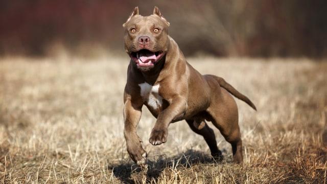 Karena Berbahaya,  Negara ini Larang Warganya Pelihara Anjing Pitbull