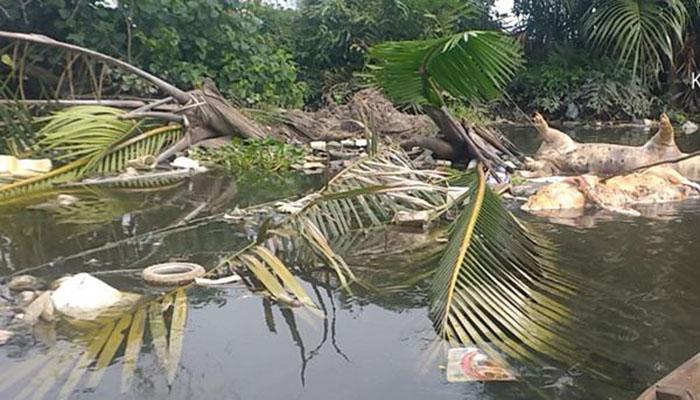 Bangkai Babi Juga Mengapung di Sungai Babura Medan