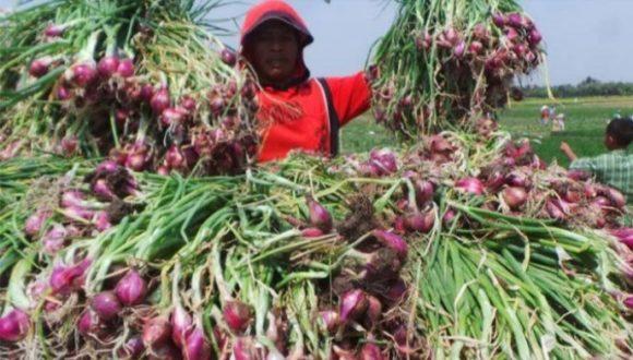 Harga Bawang Merah Bisa Stabil, Jika Pemerintah Bantu Petani Bawang Atur Masa Tanam