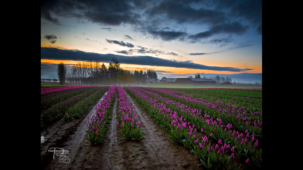 PHOTOS: Skagit Valley in bloom, spring 2016 - (8/13)