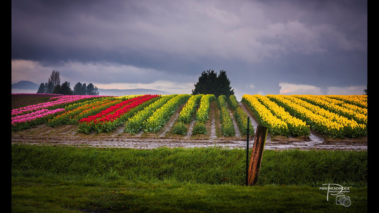 PHOTOS: Skagit Valley in bloom, spring 2016 - (4/13)