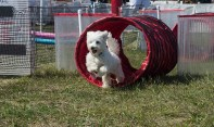 Copiague, NY - Bailey, a Havanese breed, is making his way through the obstacle course at The Long Island Pet Expo in the Park at Tanner Park in Copiague on September 14, 2014. This is Bailey's first time hitting a course like this, which surprised his owner Cathy Stramka because she has trouble just getting him to sit.