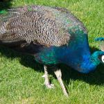 peacock-photography-bozeman