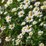 shasta-daisies-photography-bozeman
