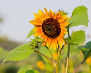 sunflower_photography