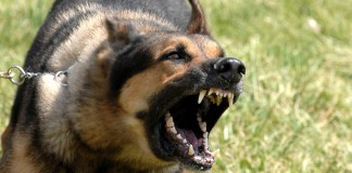 Rabies is mainly caused by dog bite