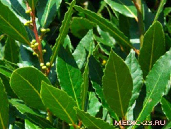 Ветки дерева лавр