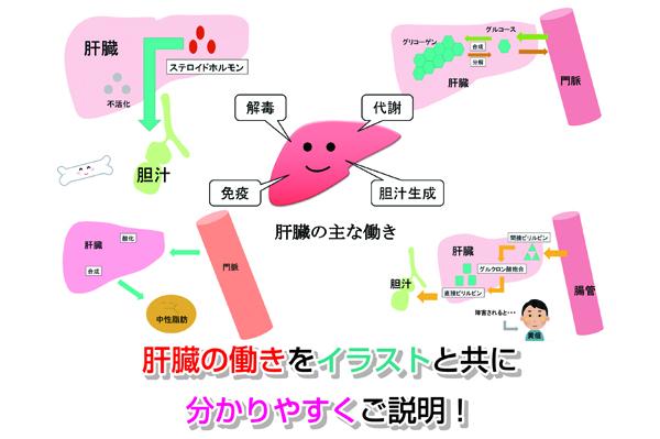 肝臓の働きをイラストと共に分かりやすくご説明!