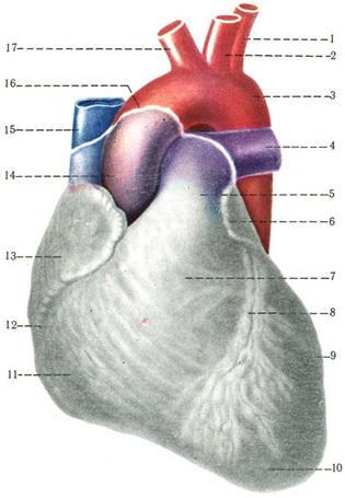 Слои сердца человека