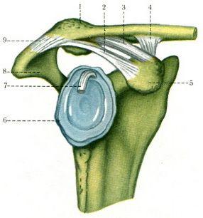 С помощью сустава соединяются ключица и лопатка
