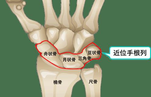 手根骨の近位列のイラスト