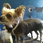 Lily, a Hairless Chinese Crested Rescued by MAIN