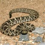 diamondback_rattlesnake