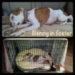 Benny, Boxer Mix - Medical Animals In Need (12)