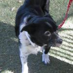 Flower, Schipperke-Border Collie Mix - Medical Animals In Need (10)