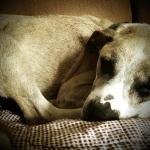 Jessie, Boxer-Shepherd mix - Medical Animals In Need (18)