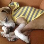Jessie, Boxer-Shepherd mix - Medical Animals In Need (25)