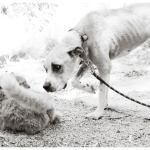 Jessie, Boxer-Shepherd mix - Medical Animals In Need (31)