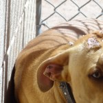 Lucky, Pit Bull Mix - Medical Animals In Need (10)