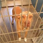Lucky, Pit Bull Mix - Medical Animals In Need (7)