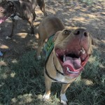 Lucky, Pit Bull Mix - Medical Animals In Need - After (10)