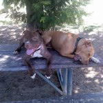 Lucky, Pit Bull Mix - Medical Animals In Need - After (16)