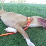 Lucky, Pit Bull Mix - Medical Animals In Need - After (19)