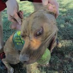 Lucky, Pit Bull Mix - Medical Animals In Need - After (9)