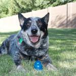 Scooby, Cattle Dog