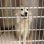 Perry - American Eskimor Mix - MAIN - Medical Animals In Need. Phoenix AZ (13)