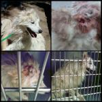 Perry - American Eskimor Mix - MAIN - Medical Animals In Need. Phoenix AZ (16)