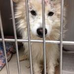 Perry - American Eskimor Mix - MAIN - Medical Animals In Need. Phoenix AZ (3)